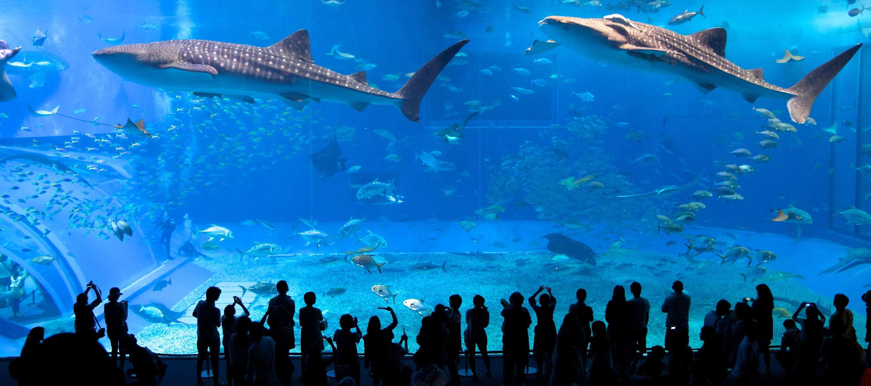 Whale Sharks At The Churaumi Aquarium In Okinawa Anthony